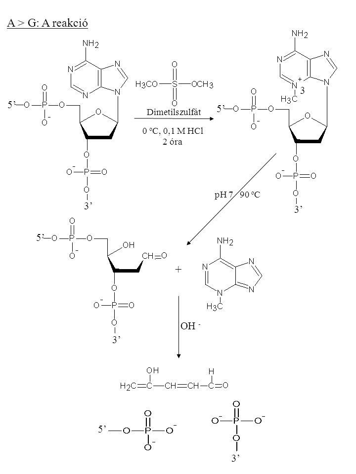 A > G: A reakció + 5' 3' Dimetilszulfát 0 o C, 0,1 M HCl 2 óra 5' 3' 5' 3' 5' 3' 3 pH 7 90 o C OH -