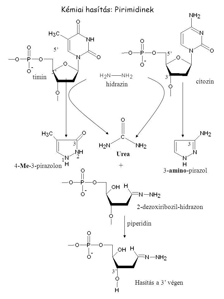 Kémiai hasítás: Pirimidinek hidrazin + piperidin 2-dezoxiribozil-hidrazon 4-Me-3-pirazolon 3-amino-pirazol Urea timin citozin Hasítás a 3' végen 3' 3 3 2 1 5'