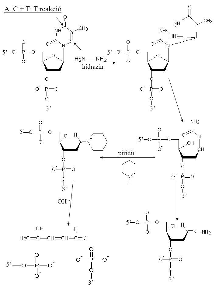 A. C + T: T reakció 5' 3' 5' 3' 5' 3' 5' 3' 5' 3' 5' hidrazin piridin OH -