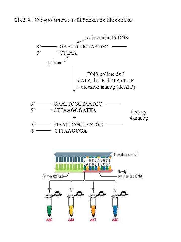 2b.2 A DNS-polimeráz müködésének blokkolása 3' GAATTCGCTAATGC 5' CTTAA szekvenálandó DNS primer DNS polimeráz I dATP, dTTP, dCTP, dGTP + didezoxi analóg (ddATP) 3' GAATTCGCTAATGC 5' CTTAAGCGATTA 3' GAATTCGCTAATGC 5' CTTAAGCGA + 4 edény 4 analóg