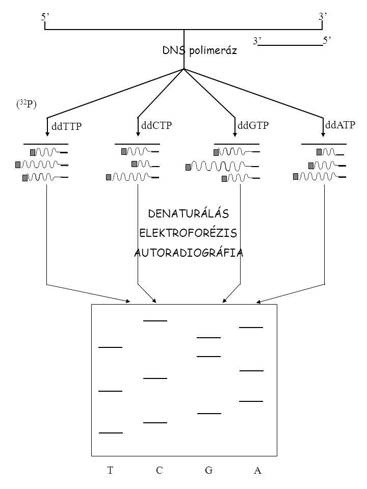 5' 3' 5' DNS polimeráz ddTTP ddCTP ddGTP ddATP ( 32 P) TCGATCGA DENATURÁLÁS ELEKTROFORÉZIS AUTORADIOGRÁFIA