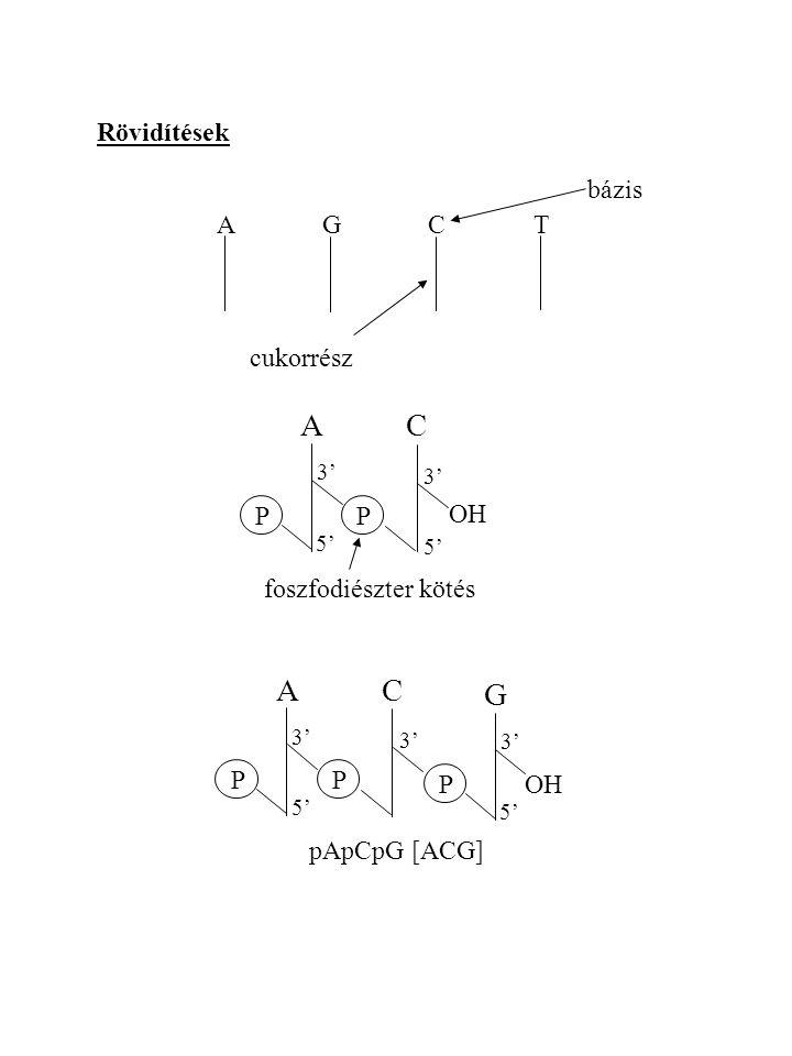 Rövidítések AGCTAGCT bázis cukorrész ACAC PP OH foszfodiészter kötés 3' 5' ACAC PP 3' 5' G P OH 3' 5' pApCpG [ACG]
