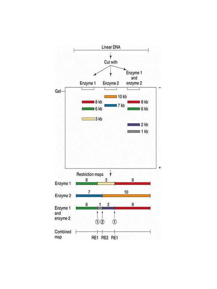 2b.1 Didezoxi nukleotid jelölése 32 Fluorofór (fluoreszcens jelölés, L.