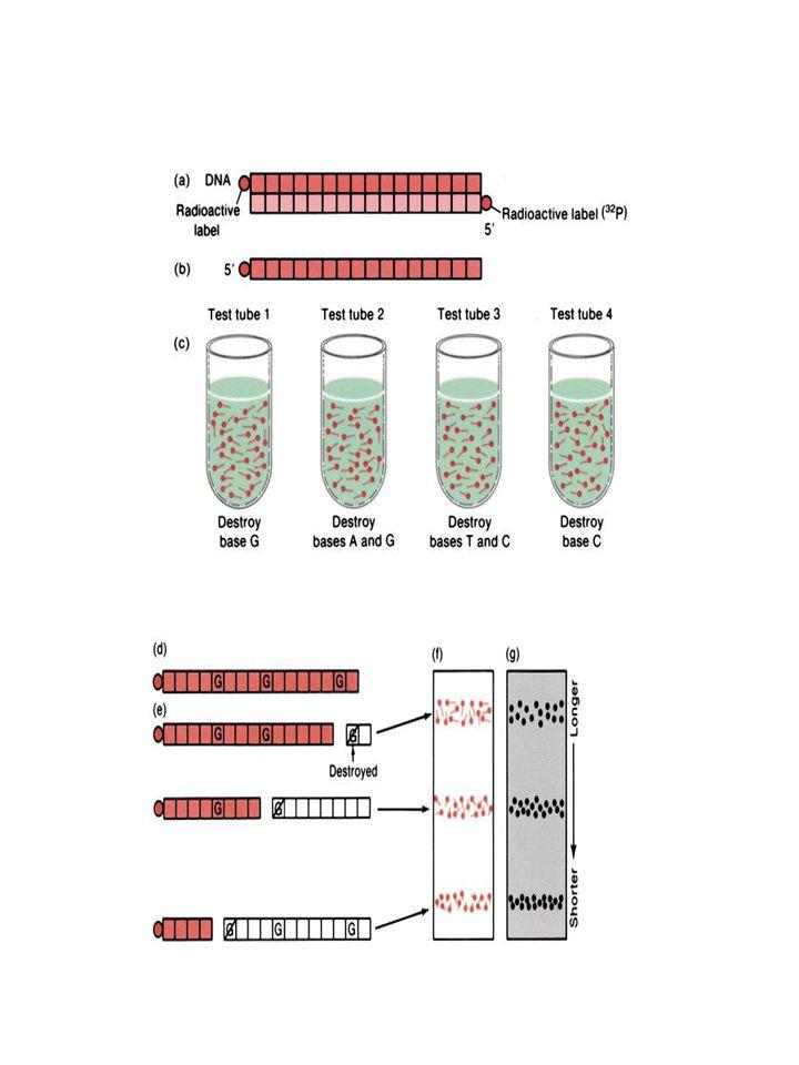 2b.3 Gélelektroforézis Leolvasás - komplement szál