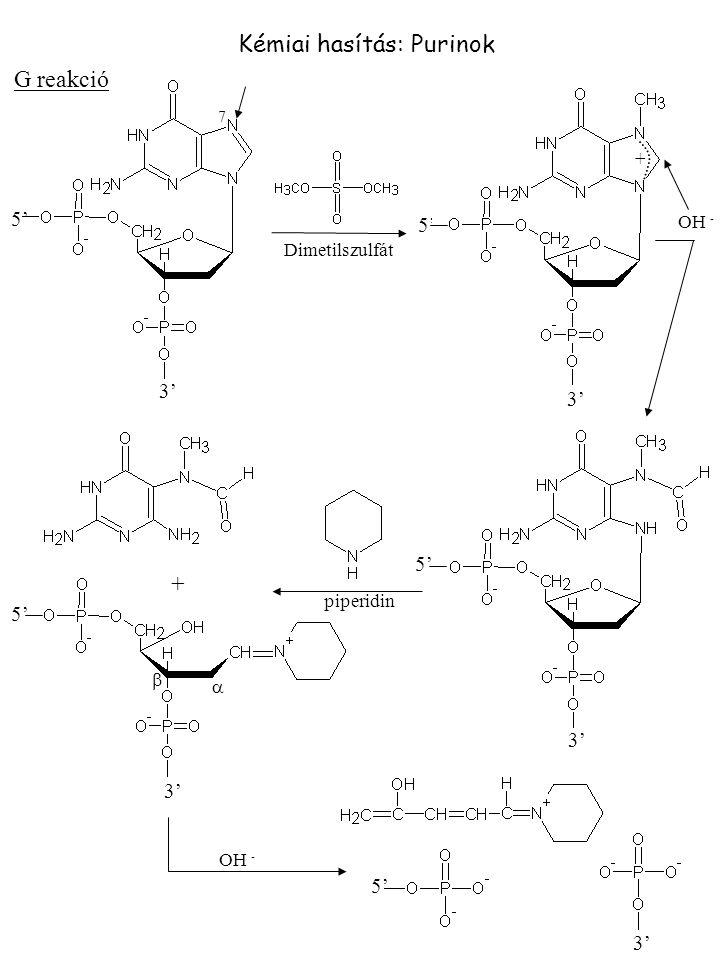Kémiai hasítás: Purinok G reakció + 5' 3' 5' 3' 5' 3' + 5' 3' 7 OH - piperidin   OH - Dimetilszulfát