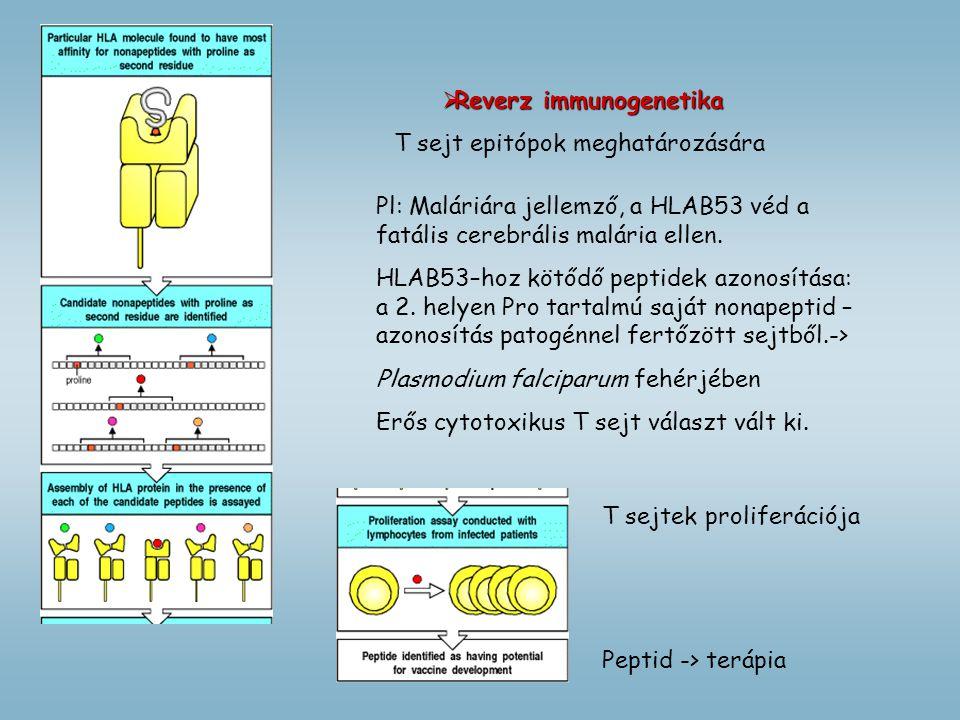  Reverz immunogenetika T sejt epitópok meghatározására Pl: Maláriára jellemző, a HLAB53 véd a fatális cerebrális malária ellen. HLAB53–hoz kötődő pep