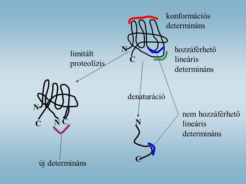 N C konformációs determináns hozzáférhető lineáris determináns nem hozzáférhető lineáris determináns N C denaturáció limitált proteolízis C N C N új d