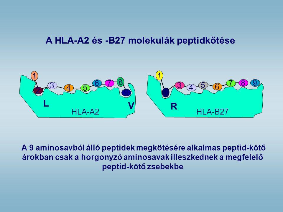 A 9 aminosavból álló peptidek megkötésére alkalmas peptid-kötő árokban csak a horgonyzó aminosavak illeszkednek a megfelelő peptid-kötő zsebekbe A HLA