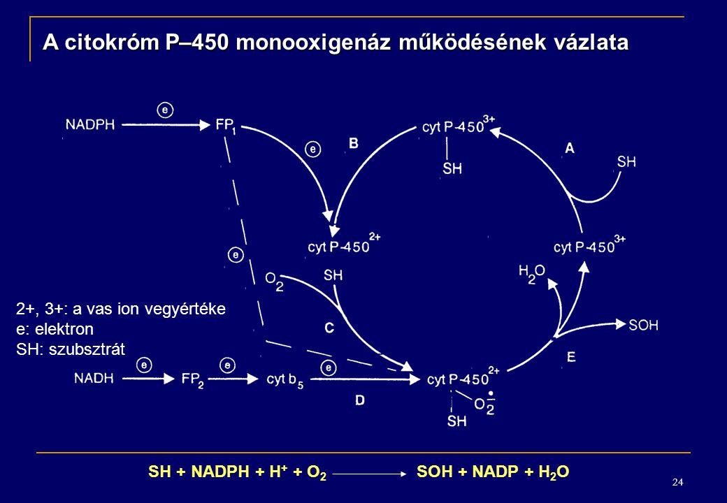 24 A citokróm P–450 monooxigenáz működésének vázlata 2+, 3+: a vas ion vegyértéke e: elektron SH: szubsztrát SH + NADPH + H + + O 2 SOH + NADP + H 2 O