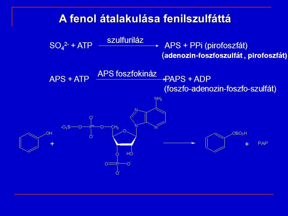 A fenol átalakulása fenilszulfáttá szulfuriláz SO 4 2- + ATPAPS + PPi (pirofoszfát) ( adenozin-foszfoszulfát, pirofoszfát) APS foszfokináz APS + ATPPA