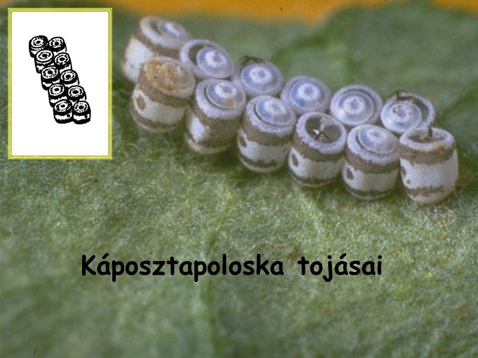 Káposztapoloska tojásai