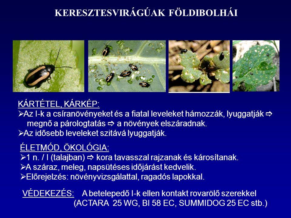KERESZTESVIRÁGÚAK FÖLDIBOLHÁI KÁRTÉTEL, KÁRKÉP:  Az I-k a csíranövényeket és a fiatal leveleket hámozzák, lyuggatják  megnő a párologtatás  a növén