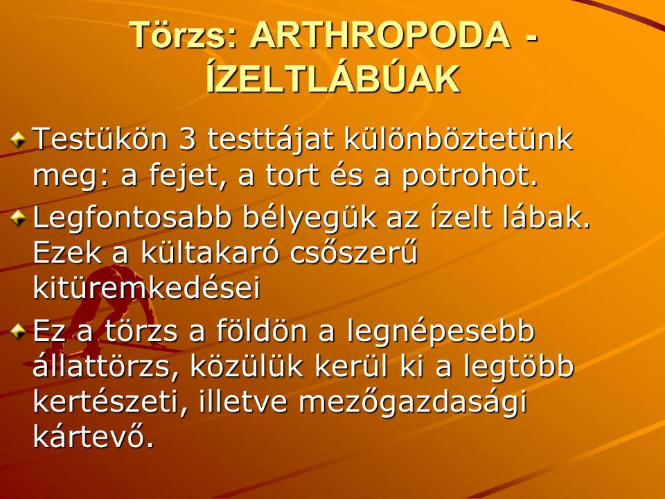 Törzs: ARTHROPODA - ÍZELTLÁBÚAK Testükön 3 testtájat különböztetünk meg: a fejet, a tort és a potrohot.