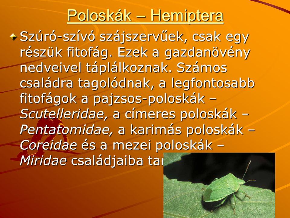 Poloskák – Hemiptera Szúró-szívó szájszervűek, csak egy részük fitofág.