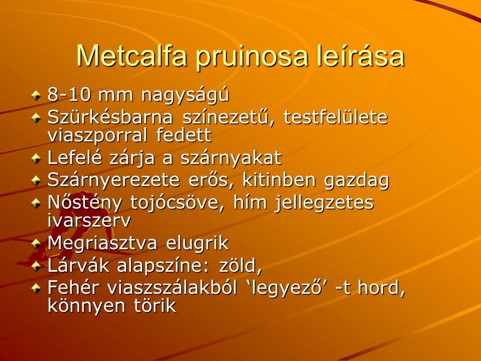 Metcalfa pruinosa leírása 8-10 mm nagyságú Szürkésbarna színezetű, testfelülete viaszporral fedett Lefelé zárja a szárnyakat Szárnyerezete erős, kitinben gazdag Nőstény tojócsöve, hím jellegzetes ivarszerv Megriasztva elugrik Lárvák alapszíne: zöld, Fehér viaszszálakból 'legyező' -t hord, könnyen törik