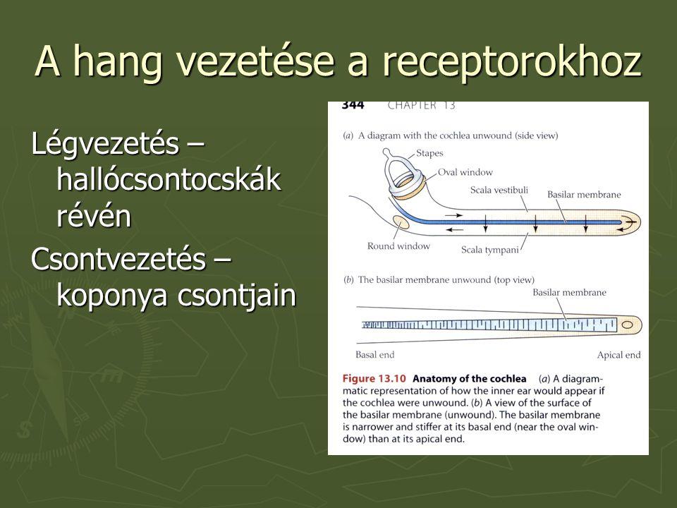 A hang vezetése a receptorokhoz Légvezetés – hallócs o ntocskák révén Csontvezetés – koponya csontjain