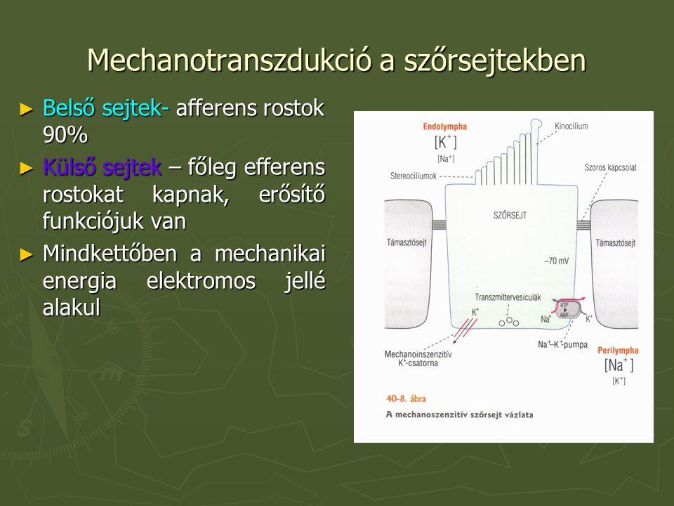Mechanotranszdukció a szőrsejtekben ► Belső sejtek- afferens rostok 90% ► Külső sejtek – főleg efferens rostokat kapnak, erősítő funkciójuk van ► Mindkettőben a mechanikai energia elektromos jellé alakul