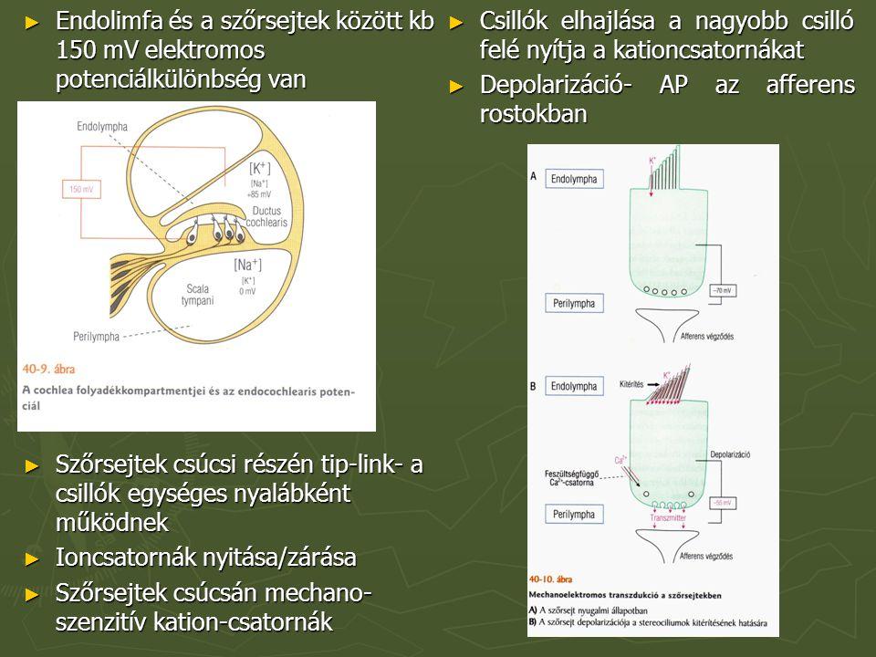 ► Endolimfa és a szőrsejtek között kb 150 mV elektromos potenciálkülönbség van ► Szőrsejtek csúcsi részén tip-link- a csillók egységes nyalábként működnek ► Ioncsatornák nyitása/zárása ► Szőrsejtek csúcsán mechano- szenzitív kation-csatornák ► Csillók elhajlása a nagyobb csilló felé nyítja a kationcsatornákat ► Depolarizáció- AP az afferens rostokban