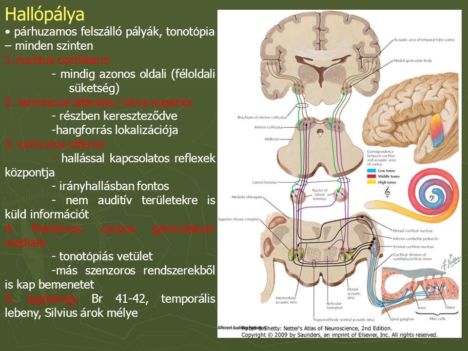 Hallópálya párhuzamos felszálló pályák, tonot ó pia – minden szinten 1.nucleus cochlearis - mindig azonos oldali (féloldali süketség) 2.