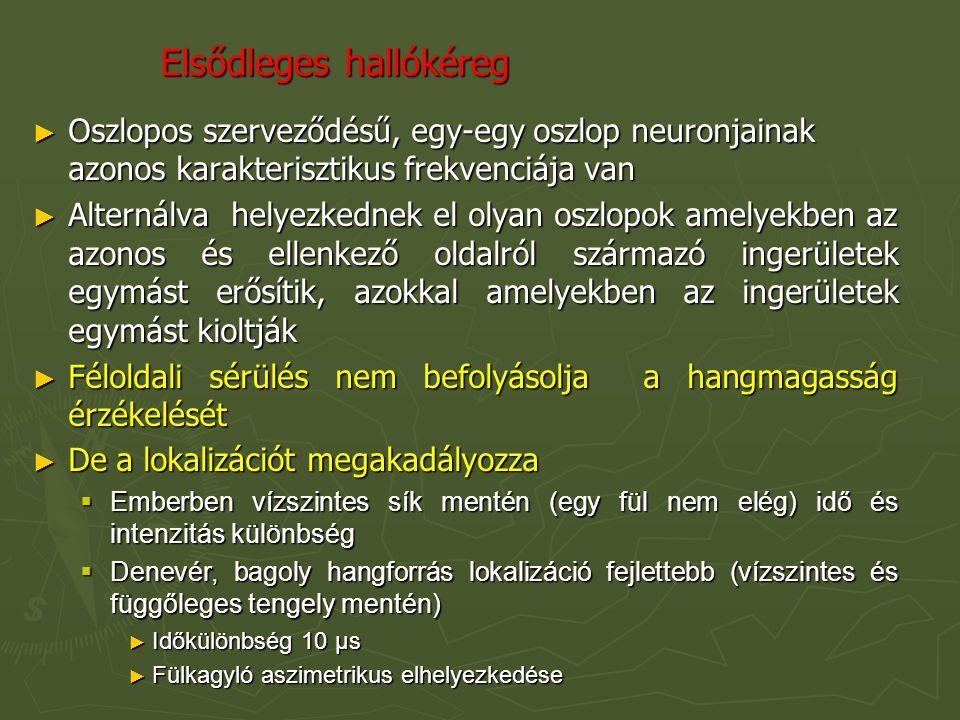 Elsődleges hallókéreg ► Oszlopos szerveződésű, egy-egy oszlop neuronjainak azonos karakterisztikus frekvenciája van ► Alternálva helyezkednek el olyan oszlopok amelyekben az azonos és ellenkező oldalról származó ingerületek egymást erősítik, azokkal amelyekben az ingerületek egymást kioltják ► Féloldali sérülés nem befolyásolja a hangmagasság érzékelését ► De a lokalizációt megakadályozza  Emberben vízszintes sík mentén (egy fül nem elég) idő és intenzitás különbség  Denevér, bagoly hangforrás lokalizáció fejlettebb (vízszintes és függőleges tengely mentén) ► Időkülönbség 10 µs ► Fülkagyló aszimetrikus elhelyezkedése