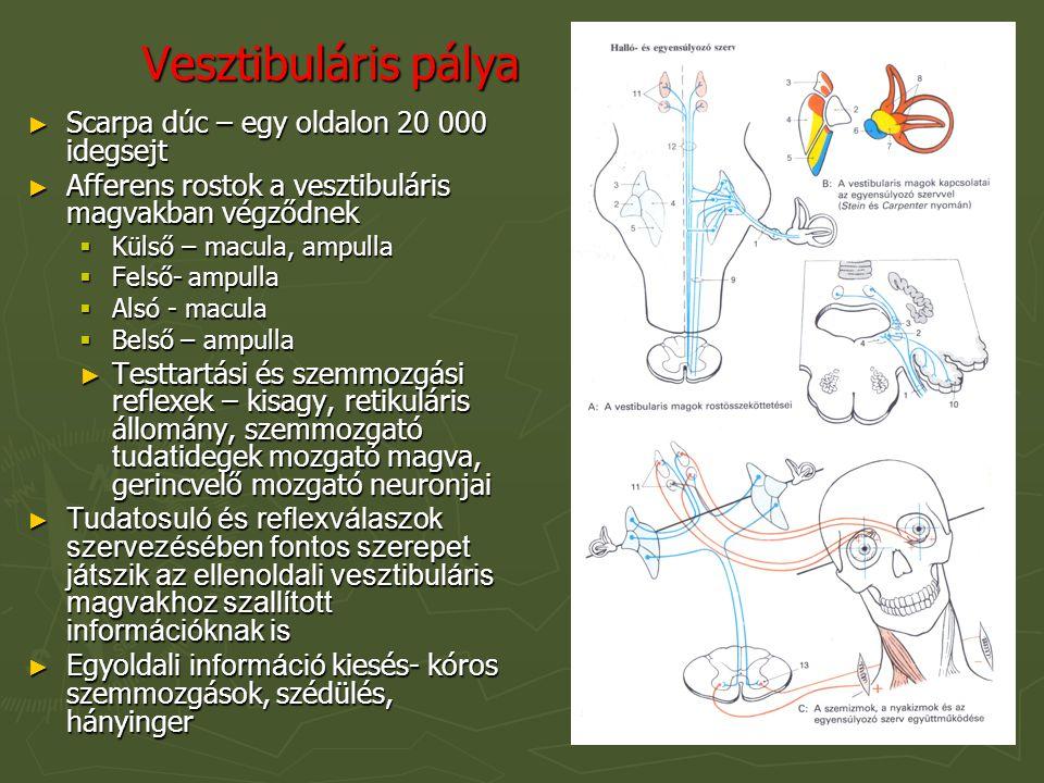 Vesztibuláris pálya ► Scarpa dúc – egy oldalon 20 000 idegsejt ► Afferens rostok a vesztibuláris magvakban végződnek  Külső – macula, ampulla  Felső- ampulla  Alsó - macula  Belső – ampulla ► Testtartási és szemmozgási reflexek – kisagy, retikuláris állomány, szemmozgató tudat idegek mozgató magva, gerincvelő mozgató neuronjai ► Tudatosuló és reflexválaszok szervezésében fontos szerepet játszik az ellenoldali vesztibuláris magvakhoz szallított információknak is ► Egyoldali információ kiesés- kóros szemmozgások, szédülés, hányinger
