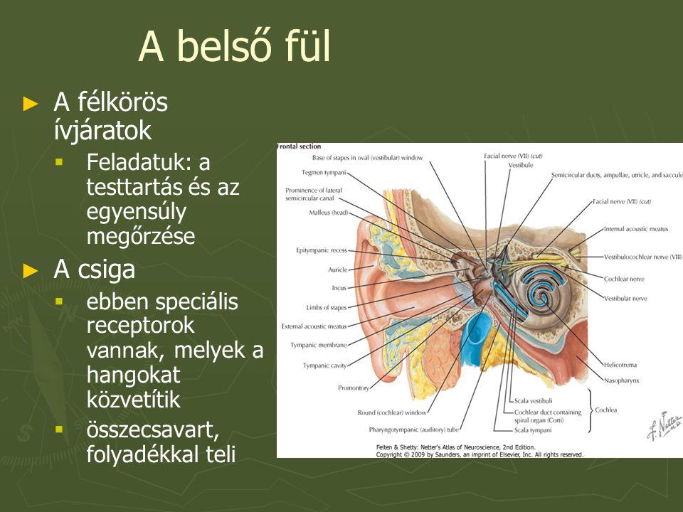 A belső fül ► ► A félkörös ívjáratok   Feladatuk: a testtartás és az egyensúly megőrzése ► ► A csiga   ebben speciális receptorok vannak, melyek a hangokat közvetítik   összecsavart, folyadékkal teli