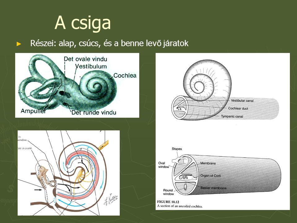 Belső szőrsejtek ► Depolarizáció hatására feszültségfüggő Ca2+ csatornák nyílnak → glutamát felszabadulás →Corti dúc sejtjeinek afferens nyúlványaira tevődik át ► Egy hallósejthez - 10 afferens rost érkezik ► Egy afferens rost csak egy szőrsejttel szinaptizál ► 6-7000 hallósejt, 60-70 000 afferens rost- karakterisztikus frekvenciára válaszolnak  Azt a frekvenciát jelenti melyet a legkisebb nyomásszinten kell alkalmazni ahhoz, hogy mérhető AP jöjjön létre az afferens rostban  Az alaphártya és a külső szőrsejtek működésére vezethető vissza