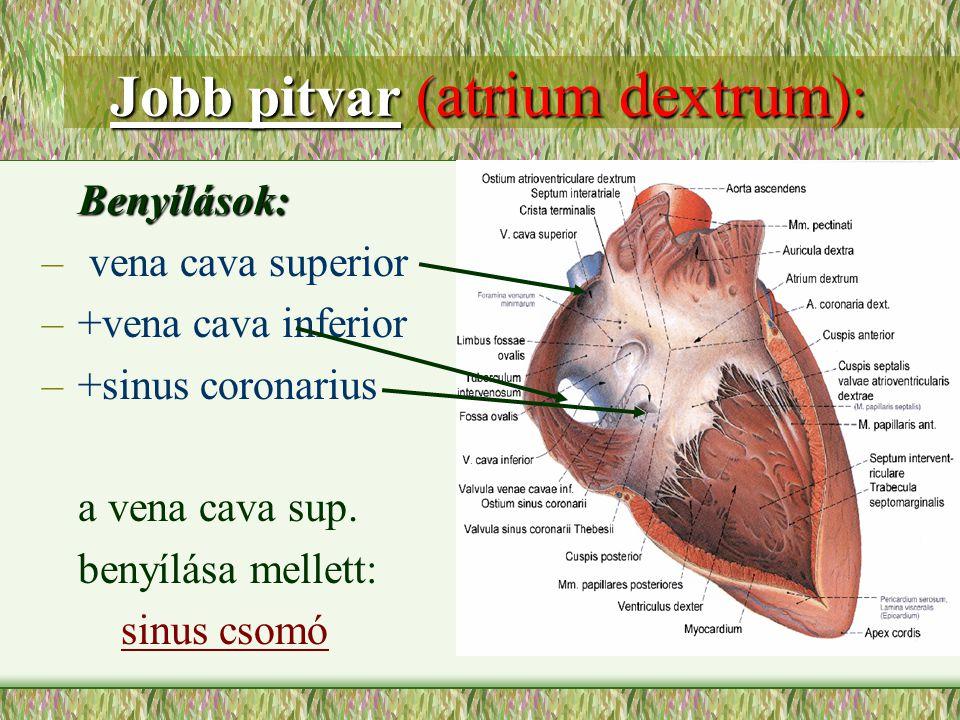 Jobb pitvar ( atrium dextrum ): Jobb pitvar ( atrium dextrum ): Benyílások: Benyílások: – vena cava superior –+vena cava inferior –+sinus coronarius a
