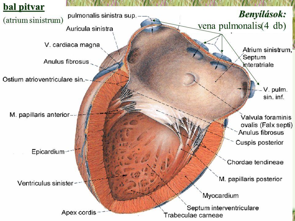 bal pitvar atrium sinistrum (atrium sinistrum)Benyílások: vena pulmonalis(4 db)
