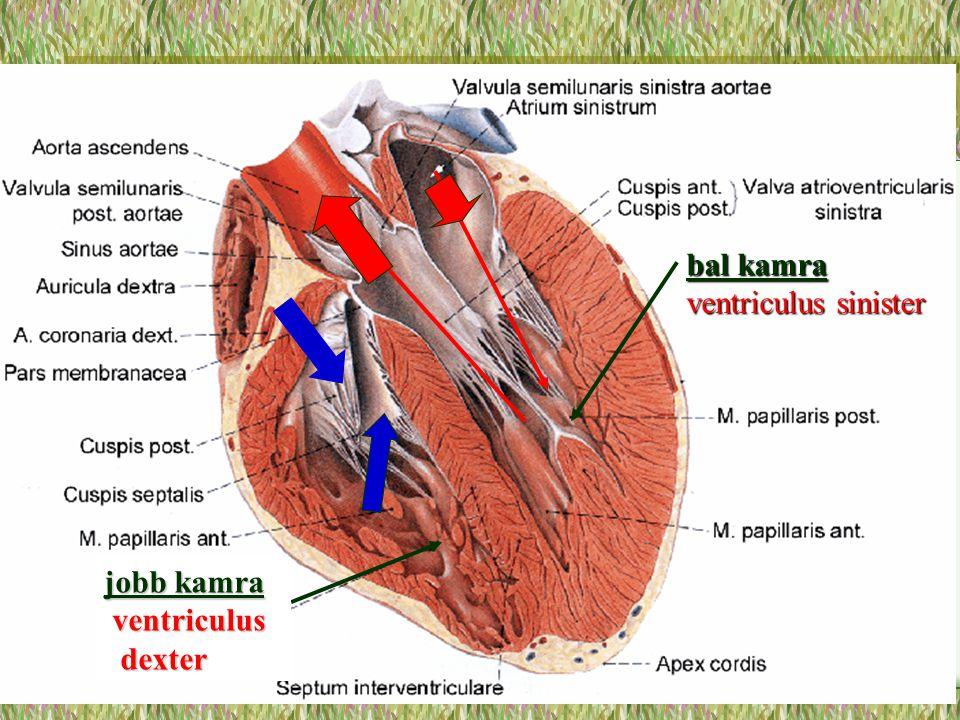 bal kamra ventriculus sinister jobb kamra ventriculus ventriculus dexter dexter