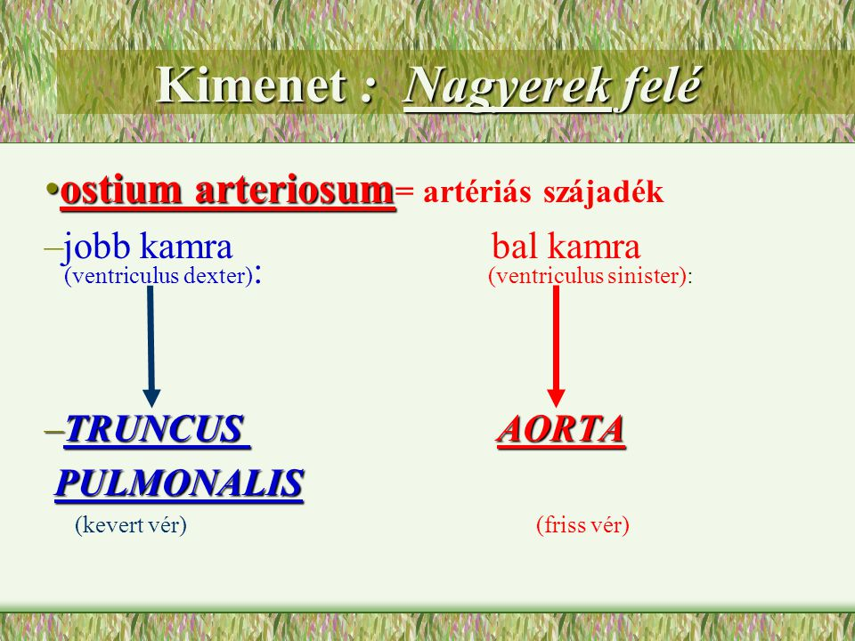 Kimenet : Nagyerek felé ostium arteriosumostium arteriosum = artériás szájadék –jobb kamra bal kamra (ventriculus dexter) : (ventriculus sinister): –T
