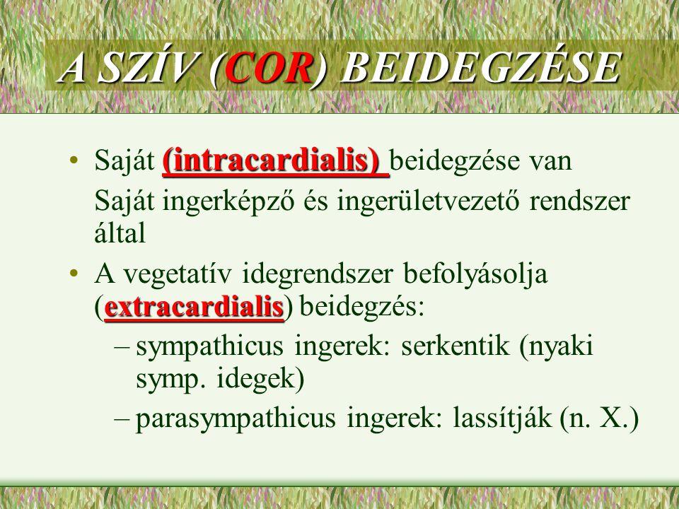 A SZÍV (COR) BEIDEGZÉSE (intracardialis)Saját (intracardialis) beidegzése van Saját ingerképző és ingerületvezető rendszer által extracardialisA veget