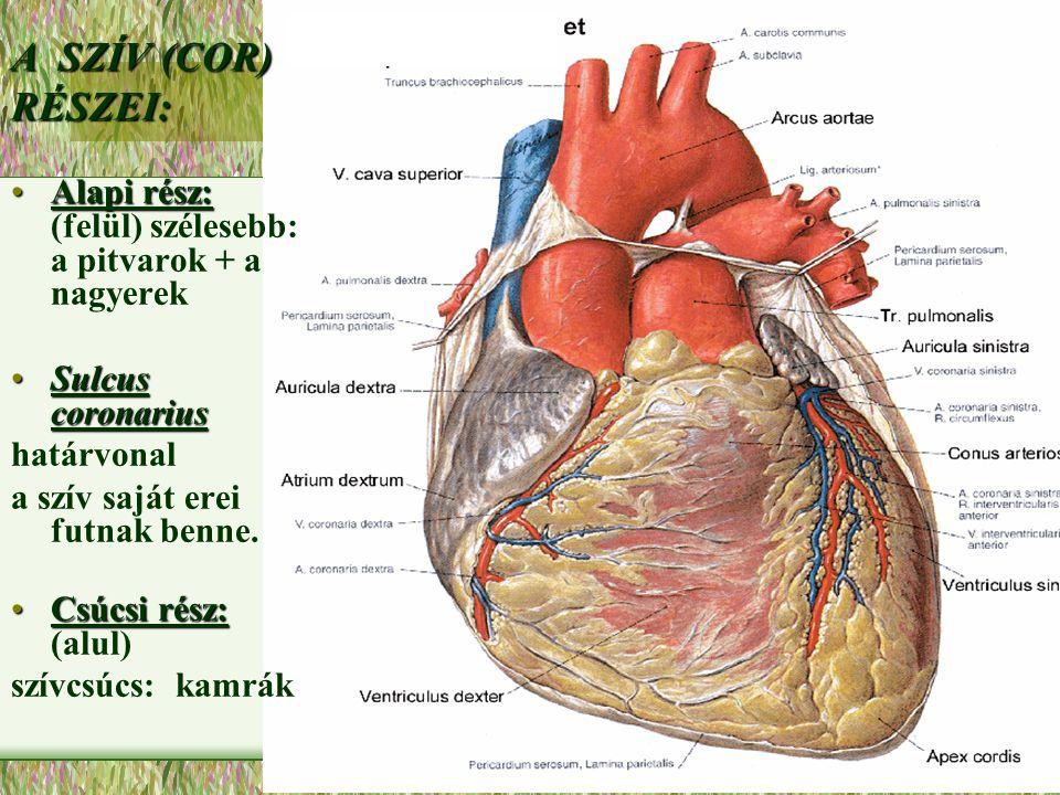 A SZÍV (COR) RÉSZEI: Alapi rész:Alapi rész: (felül) szélesebb: a pitvarok + a nagyerek Sulcus coronariusSulcus coronarius határvonal a szív saját erei