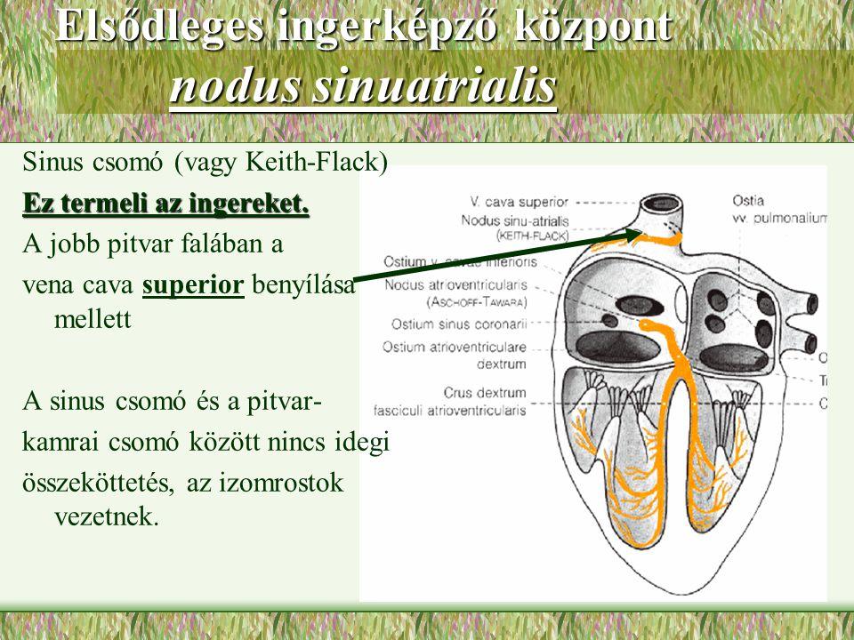 Elsődleges ingerképző központ nodus sinuatrialis Sinus csomó (vagy Keith-Flack) Ez termeli az ingereket. A jobb pitvar falában a vena cava superior be