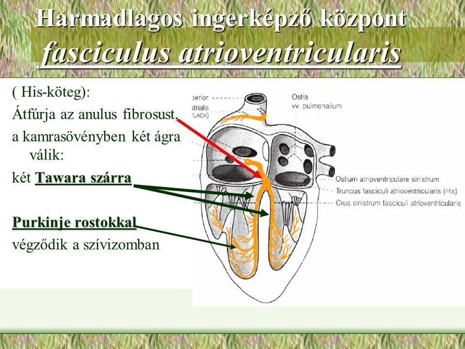 Harmadlagos ingerképző központ fasciculus atrioventricularis ( His-köteg): Átfúrja az anulus fibrosust, a kamrasövényben két ágra válik: Tawara szárra