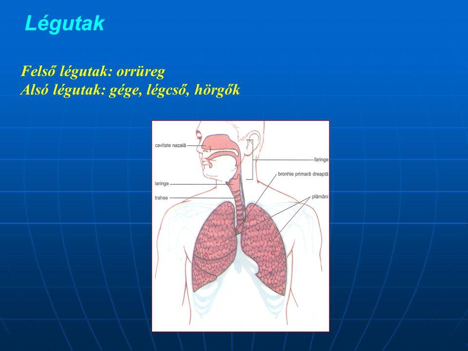 A tüdőfa -A tüdőbe belépő főhörgők elágazásai hozzák létre - A főhörgők→ (2-3) lebenyhörgő→ (10-11) szelvényhörgő→ lebenyke közti hörgők → 50-100 véghörgőcske→ légzőhörgőcskék→ léghólyagjáratok melyek fala helyenként kiboltosul (zsákok), ezekbe torkollanak a léghólyagocskák