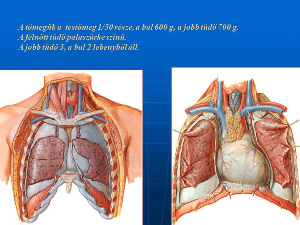 A tömegűk a testömeg 1/50 része, a bal 600 g, a jobb tüdő 700 g. A felnőtt tüdő palaszürke színű. A jobb tüdő 3, a bal 2 lebenyből áll.