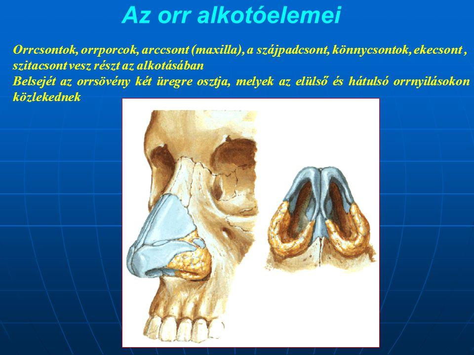Az orr alkotóelemei Orrcsontok, orrporcok, arccsont (maxilla), a szájpadcsont, könnycsontok, ekecsont, szitacsont vesz részt az alkotásában Belsejét a