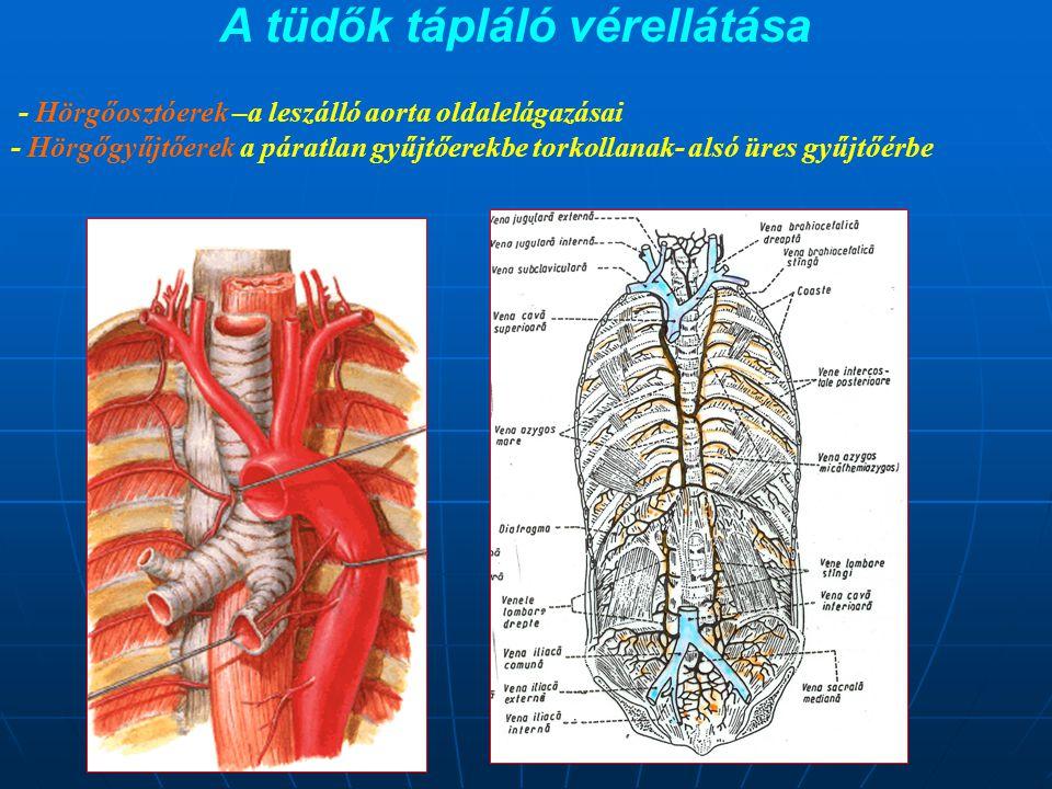 A tüdők tápláló vérellátása - Hörgőosztóerek –a leszálló aorta oldalelágazásai - Hörgőgyűjtőerek a páratlan gyűjtőerekbe torkollanak- alsó üres gyűjtő
