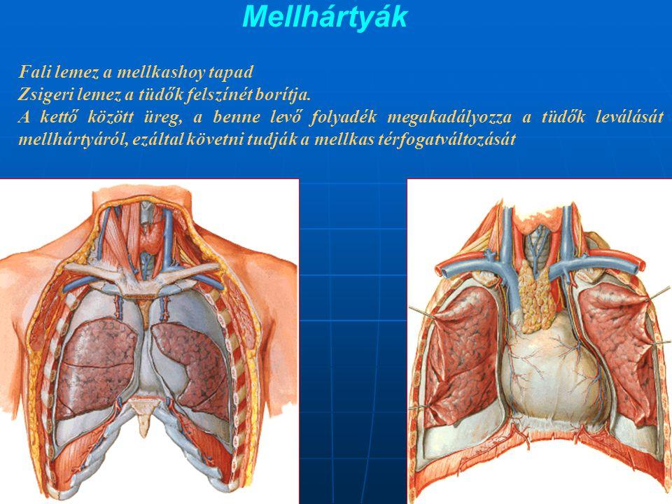 Mellhártyák Fali lemez a mellkashoy tapad Zsigeri lemez a tüdők felszínét borítja. A kettő között üreg, a benne levő folyadék megakadályozza a tüdők l