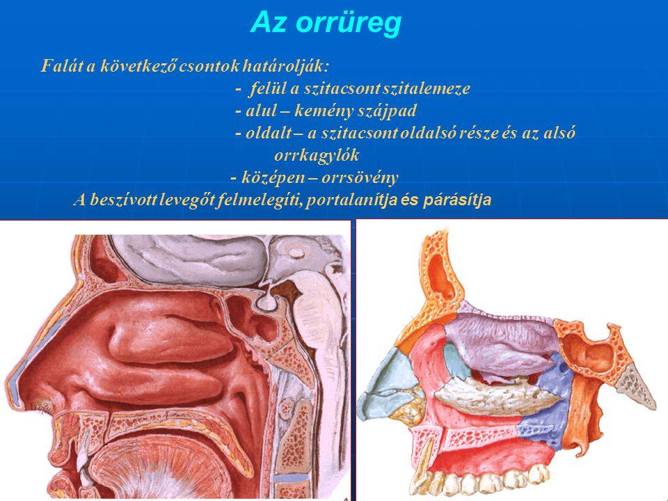 Az orrüreg Falát a következő csontok határolják: - felül a szitacsont szitalemeze - alul – kemény szájpad - oldalt – a szitacsont oldalsó része és az