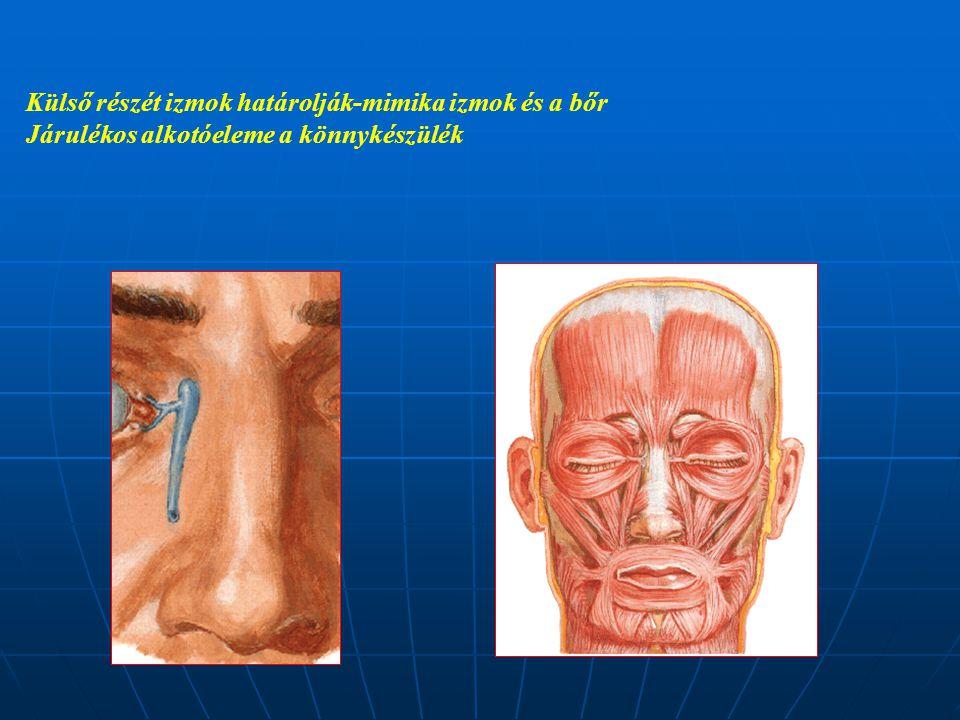 Külső részét izmok határolják-mimika izmok és a bőr Járulékos alkotóeleme a könnykészülék