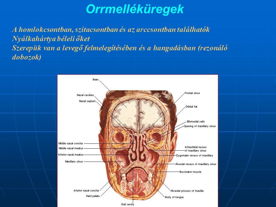 A hajszálerek fala a léghólyagocskák falával az alveolokapilláris hártyát képezi.