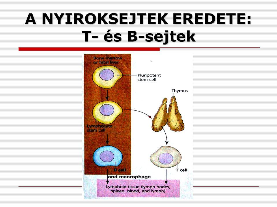 A NYIROKSEJTEK EREDETE: T- és B-sejtek