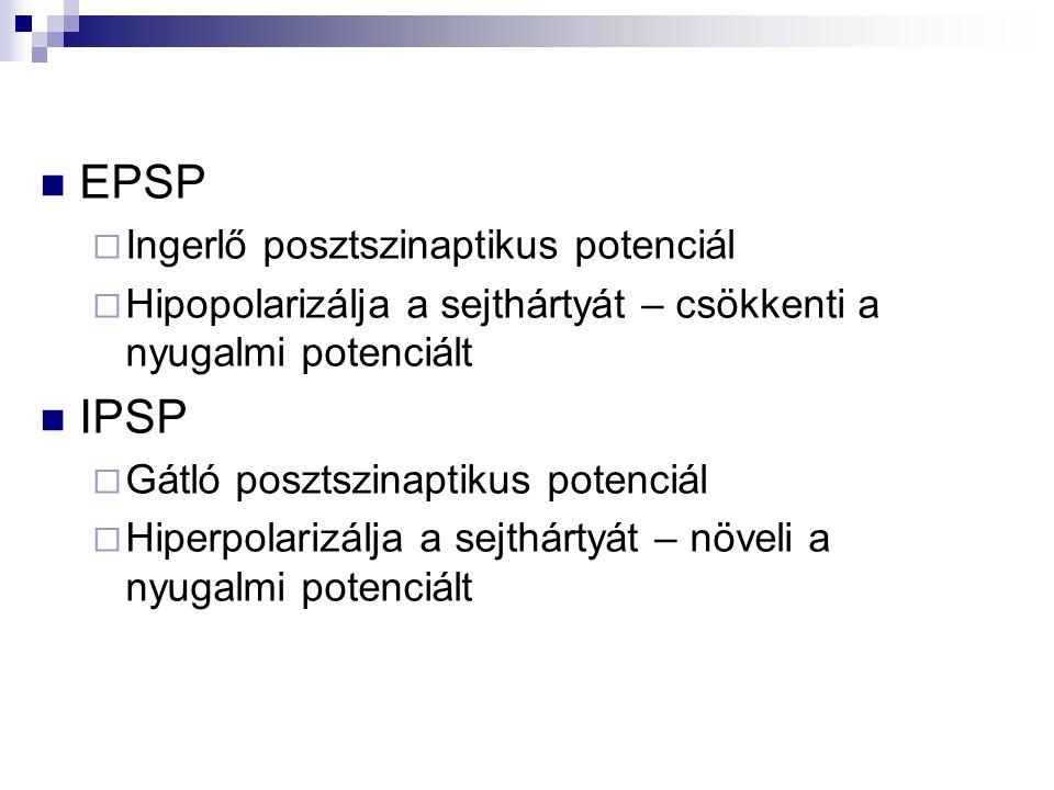 EPSP  Ingerlő posztszinaptikus potenciál  Hipopolarizálja a sejthártyát – csökkenti a nyugalmi potenciált IPSP  Gátló posztszinaptikus potenciál 