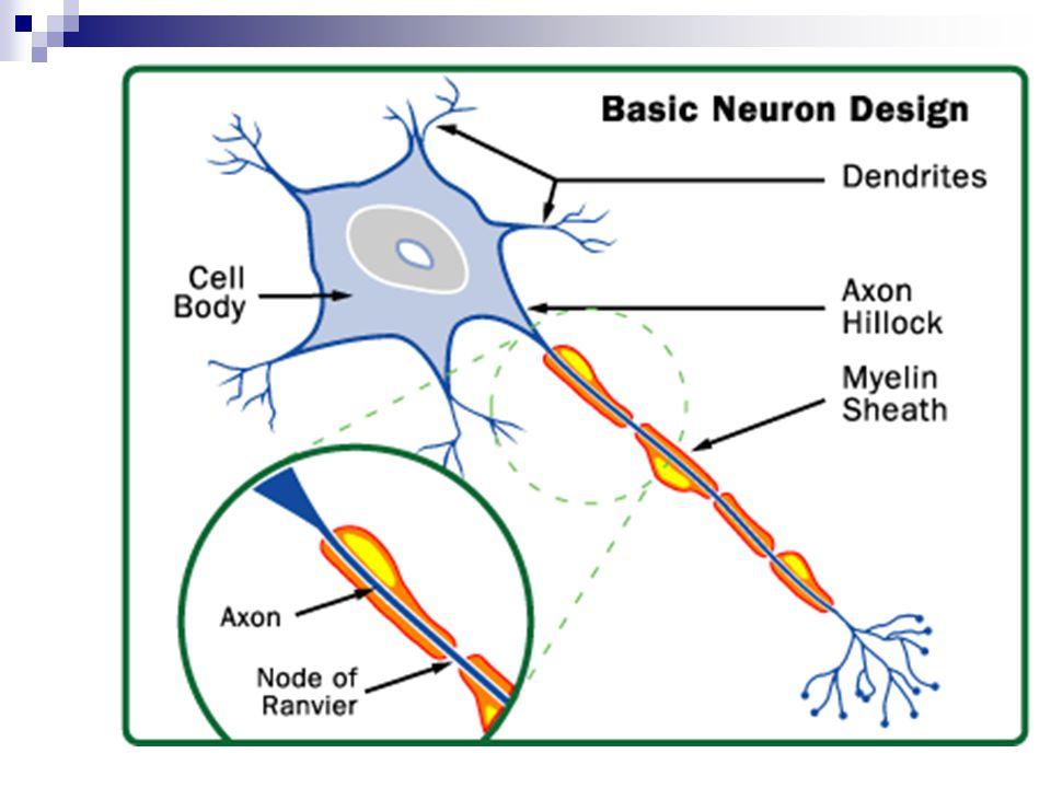 Egyensúlyi potenciál Nyugalmi membránpotenciál Idegsejt – 70 mV