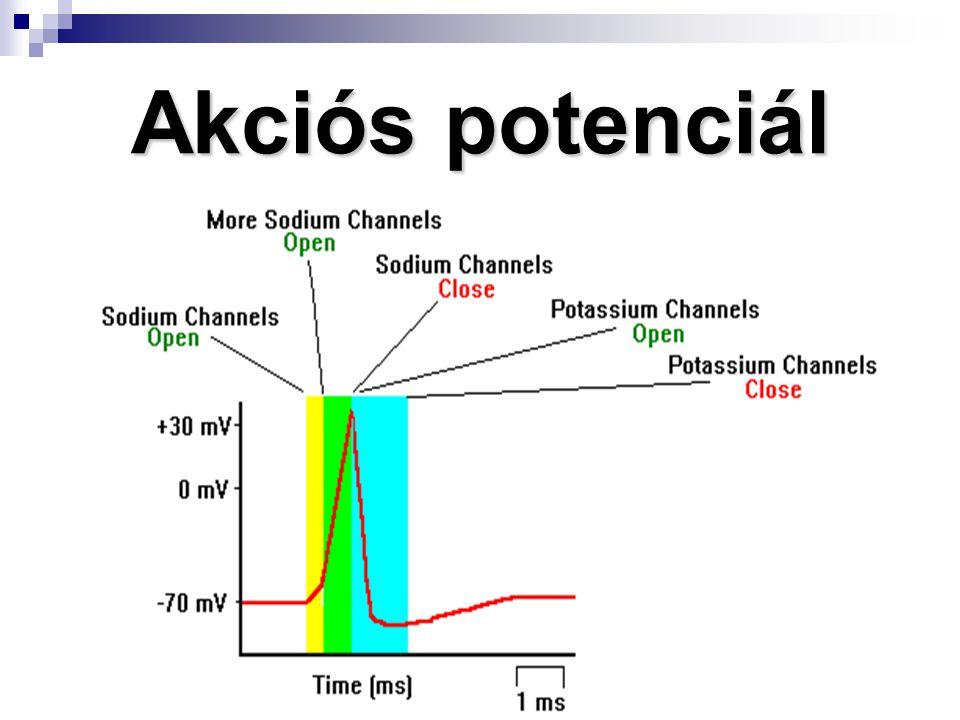 Posztszinaptikus potenciálok (PSP) Idegsejtek ingerelhetőségét PSP szabályozzák (IPSP, EPSP)  Ha a preszinaptikus inger küszöb alatti – PSP dekrementummal terjed, helyi jelenség marad  Ha az inger erőssége nő- PSP nagysága is nő - Csúcspotenciál