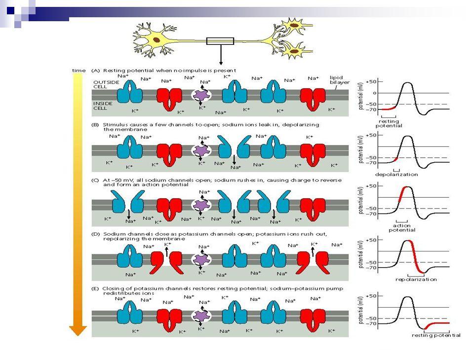 EPSP  Ingerlő posztszinaptikus potenciál  Hipopolarizálja a sejthártyát – csökkenti a nyugalmi potenciált IPSP  Gátló posztszinaptikus potenciál  Hiperpolarizálja a sejthártyát – növeli a nyugalmi potenciált
