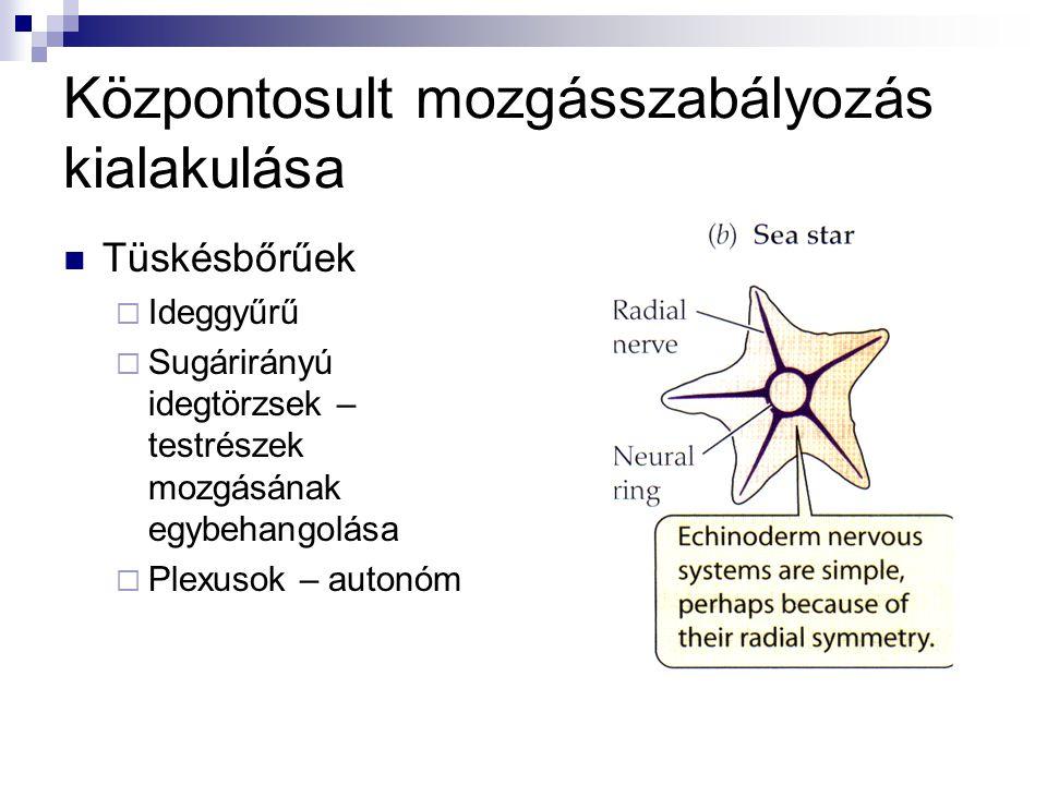 Gyűrűsférgek  Hasdúclánc  Garat feletti gyűrű -érző  Garat alatti gyűrű -mozgató Neuroméra – helyi dúc irányítja a szelvény működését (érző, mozgató) Összehangolás helyi reflexek révén Laposférgek- agydúcok (filogenetikai fordulópont) – környezetez való alkalmazkodás