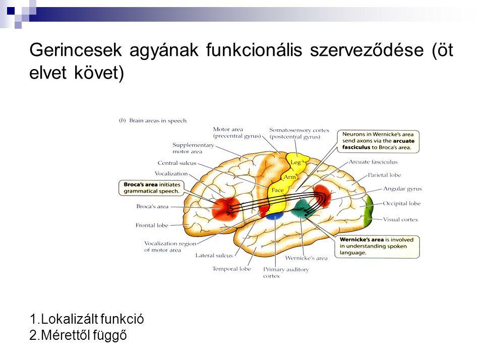 Gerincesek agyának funkcionális szerveződése (öt elvet követ) 1.Lokalizált funkció 2.Mérettől függő